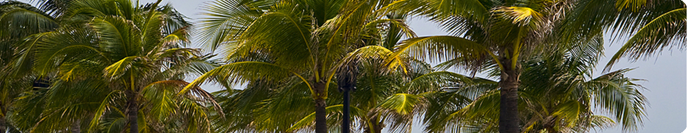 the sound of the palms in the South Florida breeze